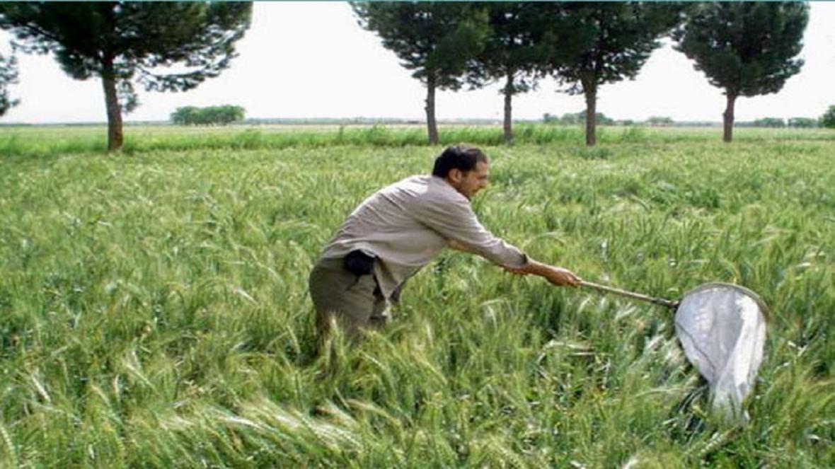 کشاورزان برای پایش مزارع گندم اقدام کنند