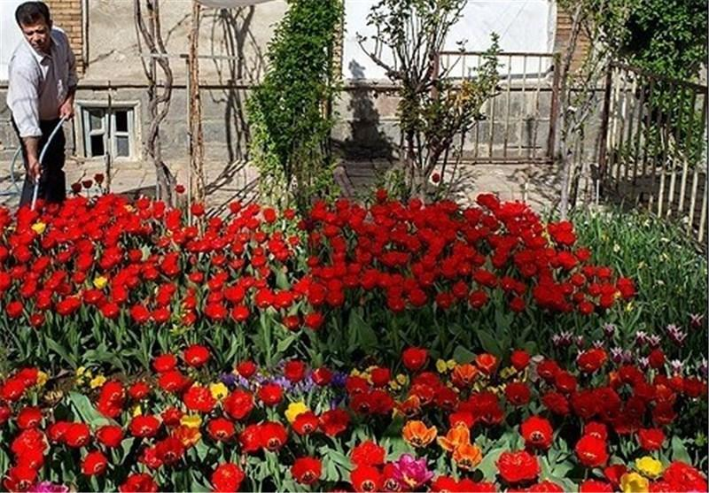 پرورش 35 هزار بوته گل لاله ایرانی در منزلی مسکونی در تبریز