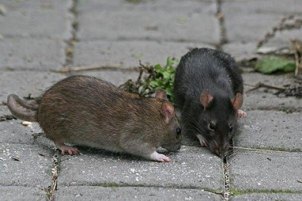 کرونا ممکن است موش های شهری را تهاجمی و خطرناک کند؟